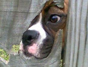 Куче гледащо през дупка на дървена ограда