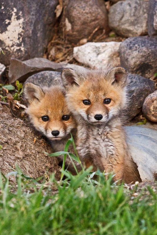 Две малки лисичета до дънер
