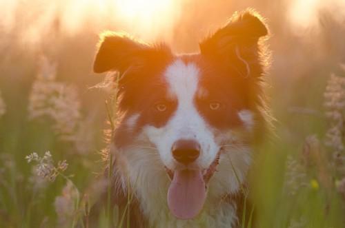 Куче от породата Бордър Коли
